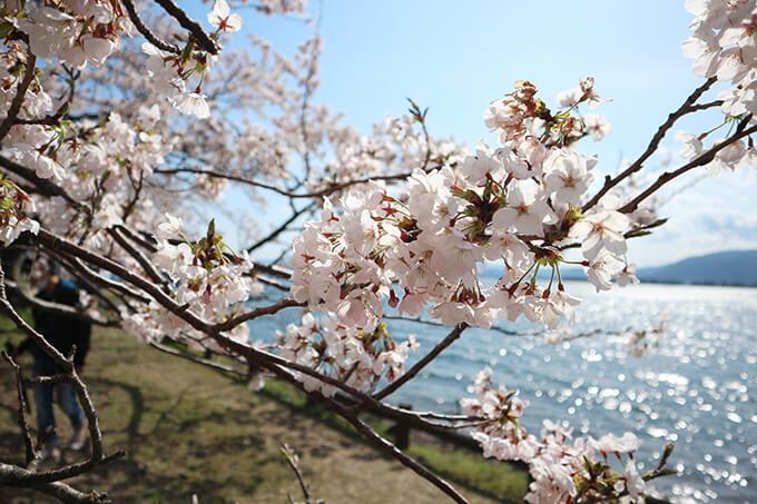滋賀県・奥琵琶湖の桜